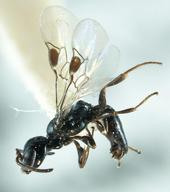 Ammoplanines wasp