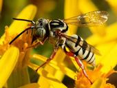 Klepto - cuckoo bee