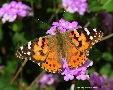 Painted lady adult