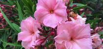 Oleander for UC Master Gardeners- Diggin' it in SLO Blog