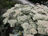 California buckwheat is a beautiful native that is in full bloom in the fall.