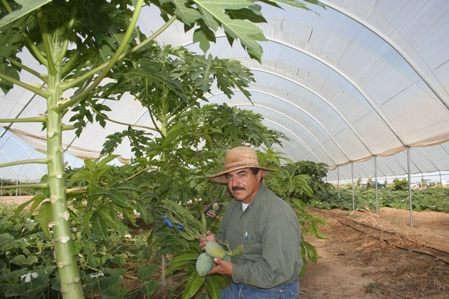 Manuel Jimenez in a Kearney research plot where he studied whether tropical papaya would be a viable California specialty crop.