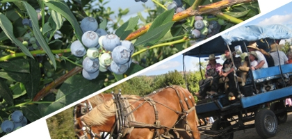 Illustration split diagonally between photo of blueberries and photo of horse-pulled caravan on a farm.