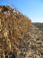 Field corn variety trial.