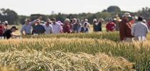 2017 FieldDay (photo credit: E. Kilmartin) for UC Small Grains Blog Blog