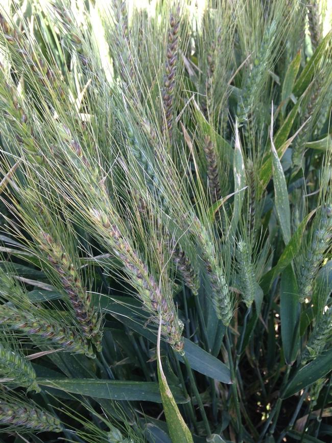 pseudo-black chaff, common wheat (2 of 2)