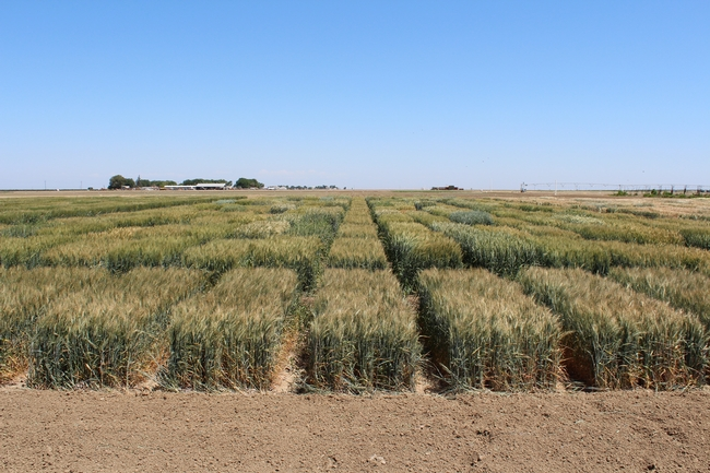 2020 UC Small Grain Trial, Fresno
