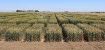 IMG 2825 for UC Small Grains Blog Blog