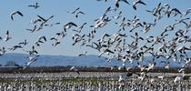 Snow geese and Ross's geese foraging in alfalfa hay in the Sacramento Valley, 2021. Photo: Steven Beckley, Woodland, CA for UC Small Grains Blog Blog