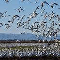 Snow geese and Ross's geese foraging in alfalfa hay in the Sacramento Valley, 2021. Photo: Steven Beckley, Woodland, CA