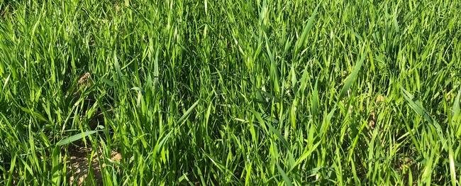 Heavy Italian ryegrass infestation in wheat