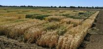 Variety Trial for UC Small Grains Blog Blog