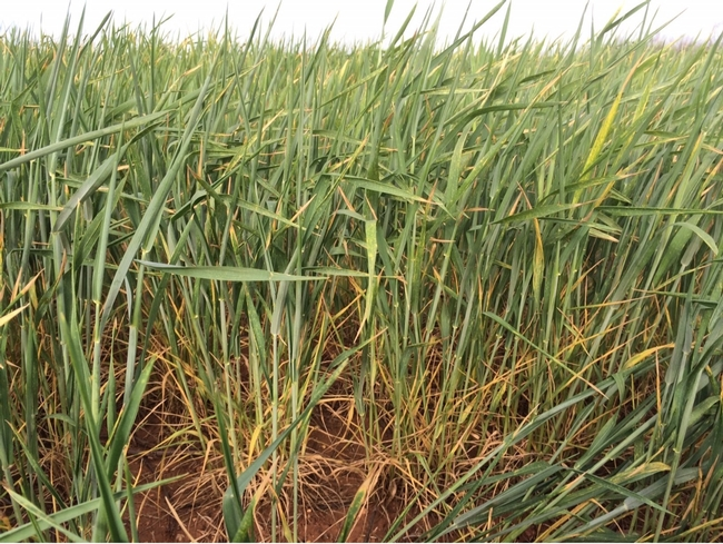 Drought Stressed Wheat