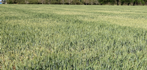 Figure 6: Patchy patterns caused by drought stress and variations in soil. Knowing where textural changes occur in a field can help catch symptoms of stress early for UC Small Grains Blog Blog