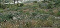 cnlm-onionweed-san-marcos-web for Invasive Plants in Southern California Blog