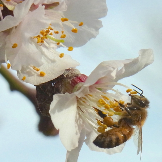 Honey bee collecting pollen in almond flower