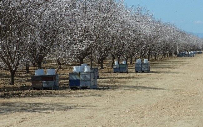 Honey bee hives in almond orchard