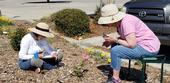 UC Master Gardeners of San Joaquin County, Kate Vizcarra and Janet Nimtz, evaluate roses for its foliage, flowers and form. (Photo Credit: Marcy Sousa)