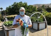 UC Master Gardener volunteer, Cory Kelso, holding a freshly pulled bunch of carrots from the Garden of the Seven Sisters in San Luis Obispo. Fruits and vegetables harvested from the garden are donated to local food banks to help feed residents in need. Photo credit: Jacqueline Shubitowski