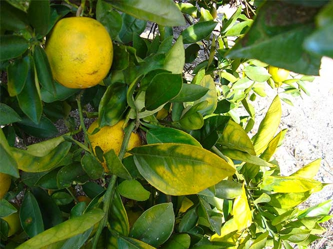 Citrus greening damage to a tree in Florida. Photo credit: CDFA.