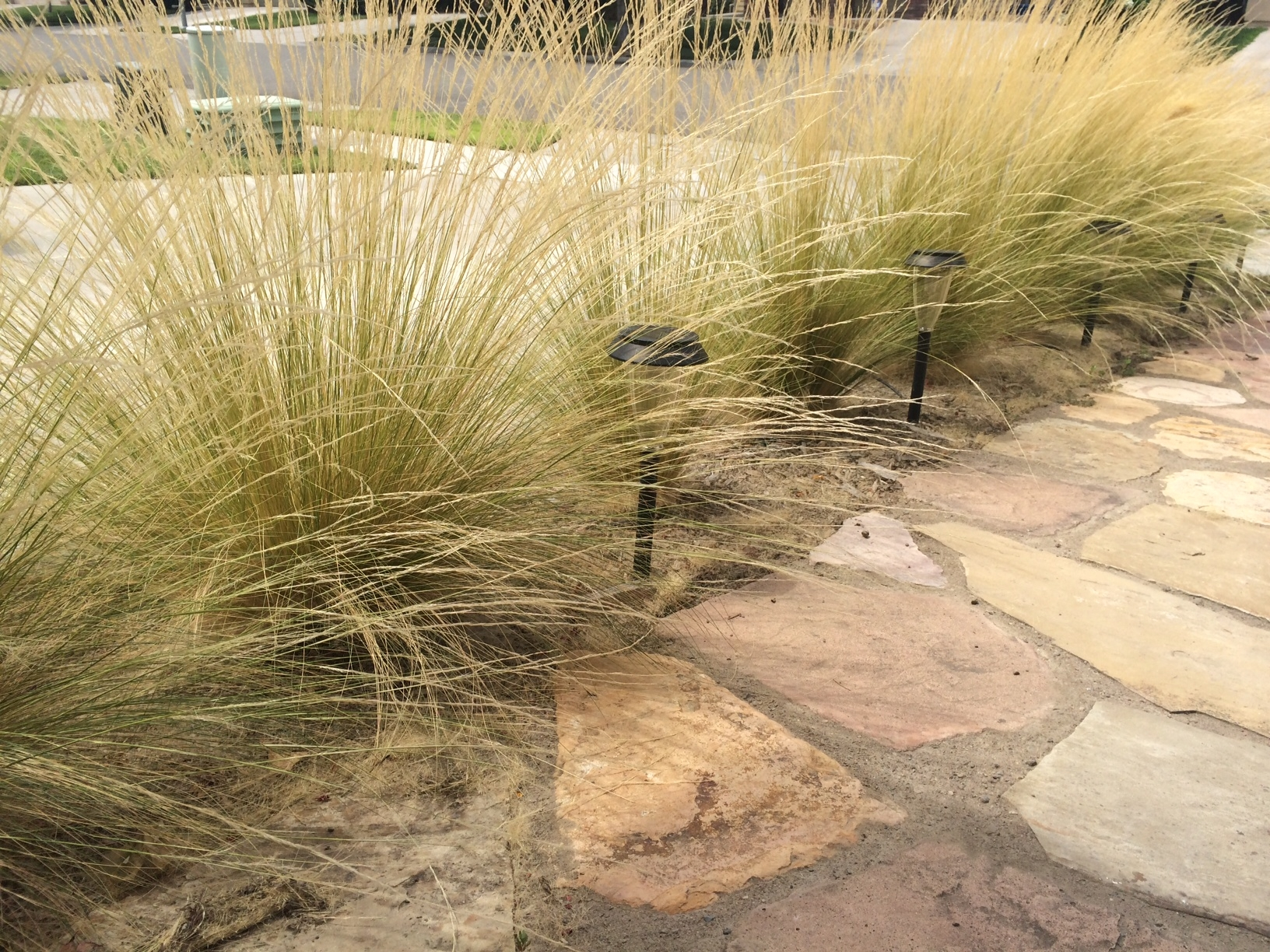 Mexican Feather Grass Invasive Beauty Can Be Deceiving Uc