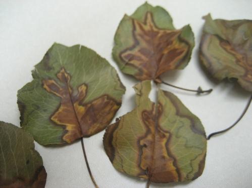 Bradford Pear leaves 003