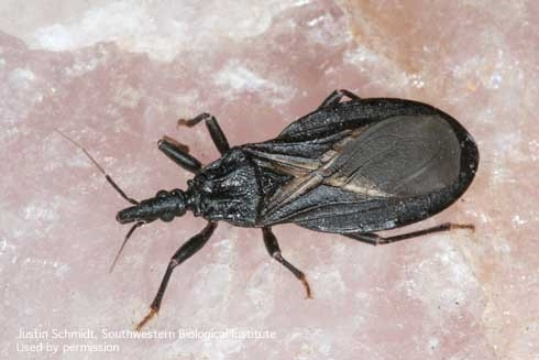 Adult western conenose bug, Triatoma protracta.