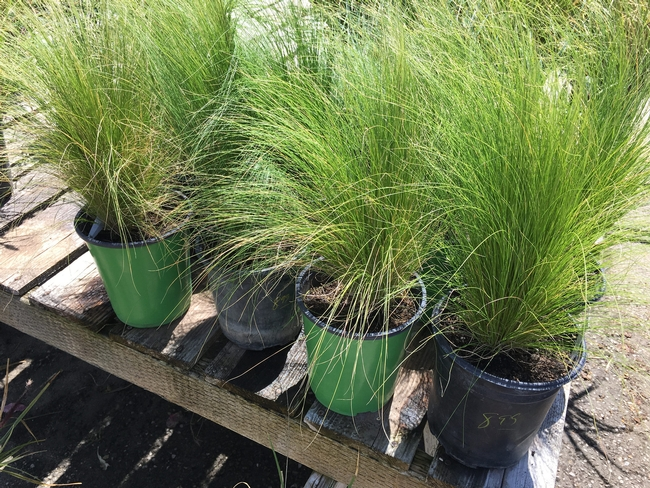 Mexican feathergrass (Stipa tenuissima) was a wildly popular invasive plant being sold in nurseries across Calif. (Photo credit: PlantRight).