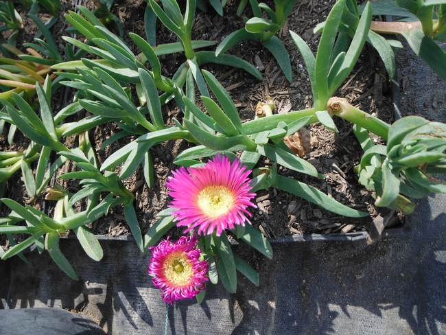 PlantRight provides alternative options to invasive plants like Highway iceplant(Carpobrotus edulis) - pictured here. (Photo credit: PlantRight)
