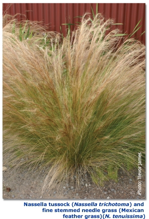 Nassella%20tussock%20(Nassella%20trichotoma)%20and%20fine%20stemmed%20needle%20grass%20(Mexican%20feather%20grass)%20(N %20tenuissima)