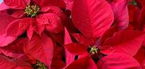 Office Poinsettias / Photo: Melissa Womack for UC Master Gardener Program Statewide Blog Blog