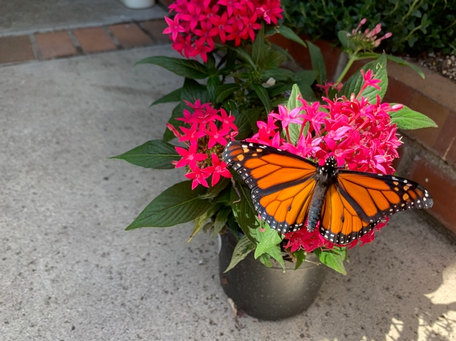A new male monarch butterfly on a Pentas plant bloom.