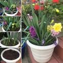 A display of bulbs blooming at different stages of growth. Bulbs shown are purple crocus, pink, yellow and purple hyacinth, yellow double ruffle daffodil and tulips. Photo: Lauren Snowden