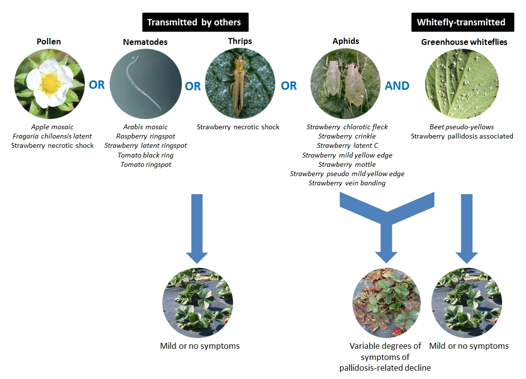 Strawberry Plant Diagram And Put Together