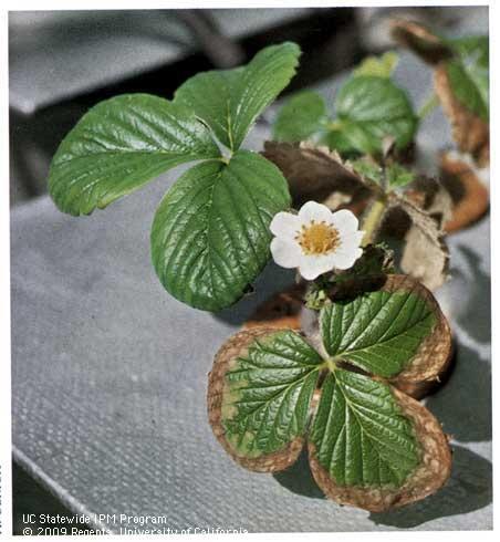 Salt toxicity in strawberries-Albert Ulrich, UC