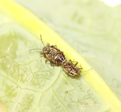 2 Dead Bagrada bugs in unison