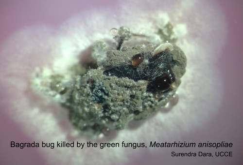 Bagrada bug killed by Metarhizium anisopliae-1