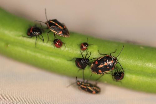 20121221 Bagrada bug (18)