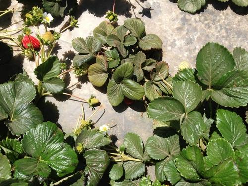 Stunted plant-Surendra Dara