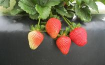 Strawberry-Benicia for Strawberries and Vegetables Blog