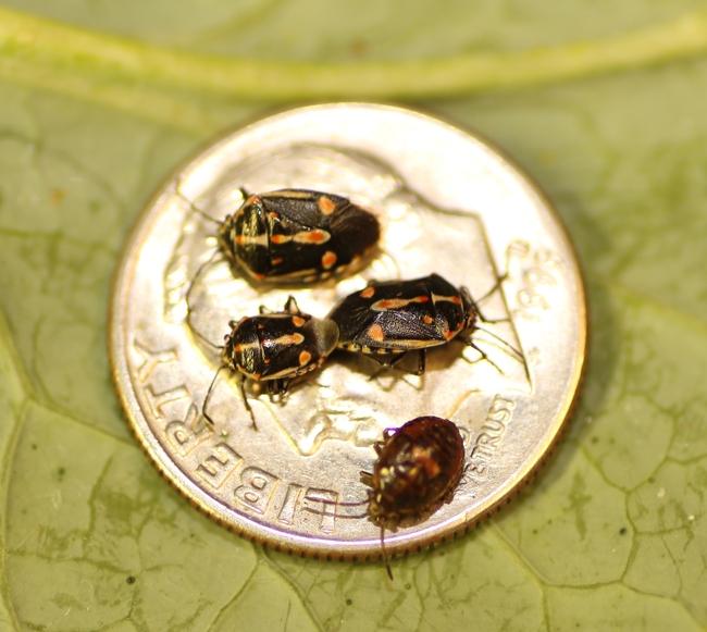 Bagrada bugs on a dime