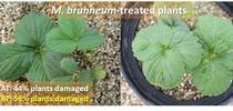 Strawberry plants M. brunneum-spider mite damage for Strawberries and Vegetables Blog