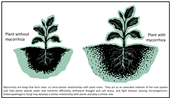 Mycorrhizae-Surendra Dara