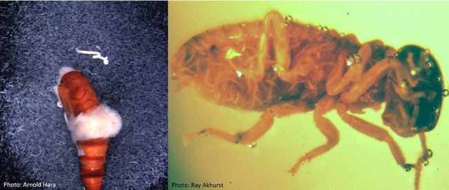EPN-Beet armyworm pupa-Arnold Hara and Heterorhabditis sp in termite worker-Ray Akhurst
