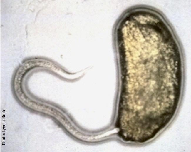 EPN-S. carpocapsae-first instar leafminer larva-Lynn LeBeck