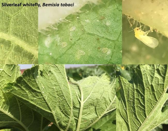 Silverleaf whitefly, Bemisia tabaci