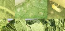 Silverleaf whitefly, Bemisia tabaci for Strawberries and Vegetables Blog