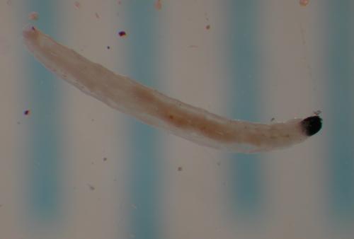 Sciarid larva from Brian Cabreara