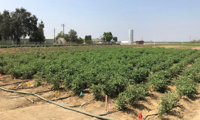 Tomato field 2018
