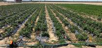 Strawberry study plots for E-Journal of Entomology and Biologicals Blog